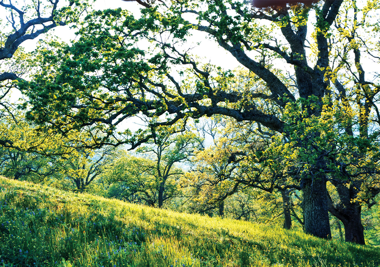 Grasslands beneath a century-old oak canopy.